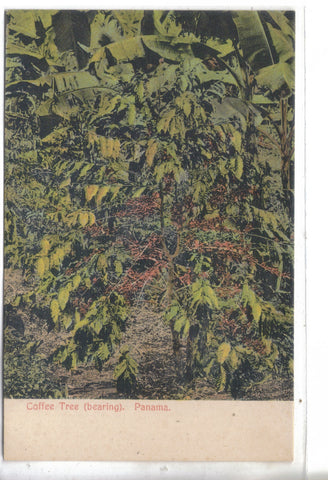Early Post Card-Coffee Tree (bearing)-Panama - Cakcollectibles - 1