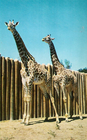 """Spotty and Dottie"" - Masai Giraffes - Swope Park,Kansas City,Missouri"