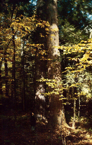 Timber at Hearts Content,Allegheny National Forest - Pennsylvania Postcard
