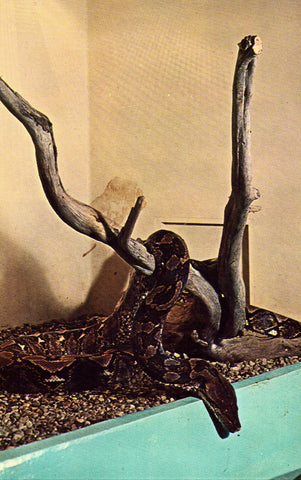 Reticulated Python - Detroit Zoological Park - Royal Oak,Michigan Vintage Postcard