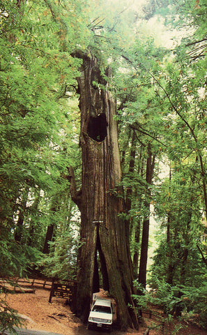 Original Drive-Thru Tree,Shrine Park-Redwood Forest Retro Postcard