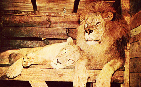 "Front of old postcard ""King and Diana"",African Lion and Lioness - Sanford Municipal Zoo - Florida"