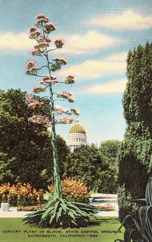 Century Plant in Bloom,State Capitol Grounds - Sacramento,California.Linen Postcard Front