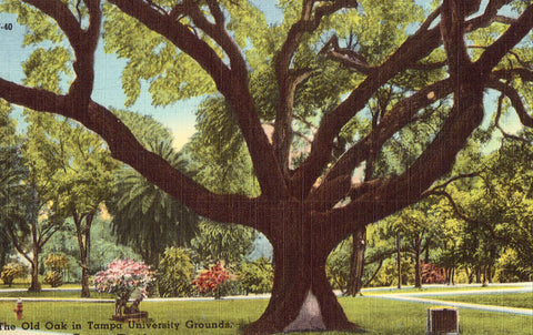 Linen postcard The Old Oak in Tampa University Grounds - Tampa,Florida
