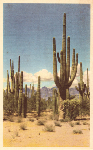 Linen postcard Saguaro Forest National Monument - Arizona