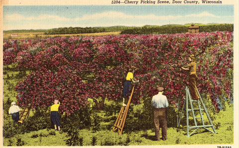 Linen postcard Cherry Picking Scene - Door County,Wisconsin