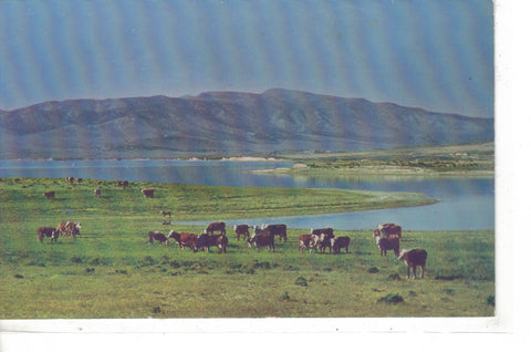 Cattle On The Range In Utah - Cakcollectibles