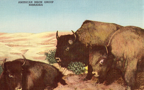 Linen postcard American Bison Group - The House of Yesterday - Hastings,Nebraska