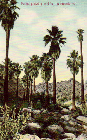 Vintage post card Palms Growing Wild in The Mountains - California