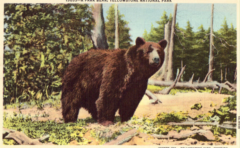 Linen postcard A Park Bear - Yellowstone National Park