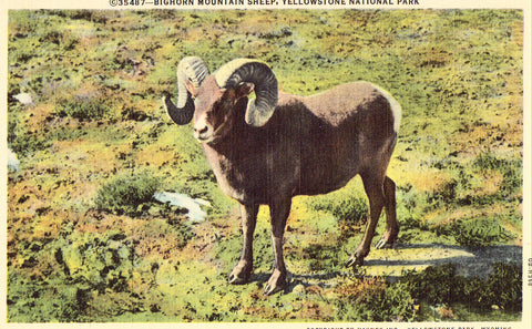 Linen postcard Bighorn Mountain Sheep- Yellowstone National Park