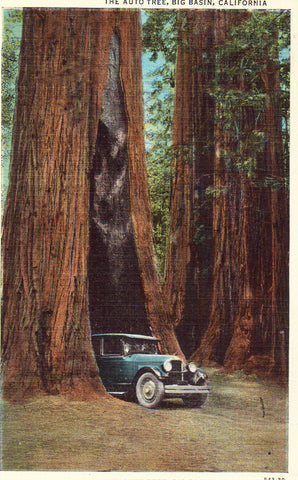 The Auto Tree - Big Basin,California