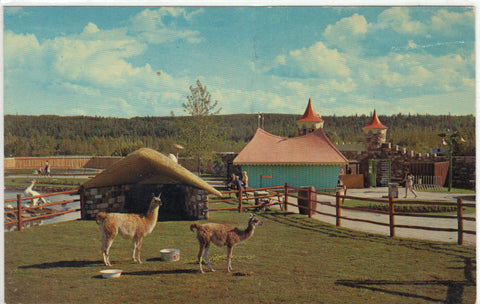 Llamas,The Children's Zoo - Storyland Valley - Edmonton,Alberta,Canada