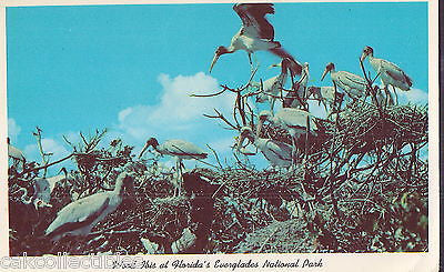 Wood Ibis in Wild Bird Rookery at Florida's Everglades National Park - Cakcollectibles