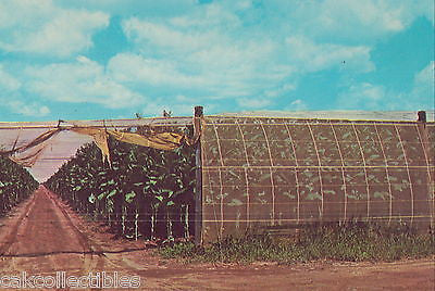 A Connecicut River Valley Tobacco Farm 1968 - Cakcollectibles - 1