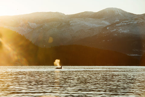 April Bencze / Sitka / Getting to the Roots / Love the Wild / Orca Whale at Sunset Vancouver Island