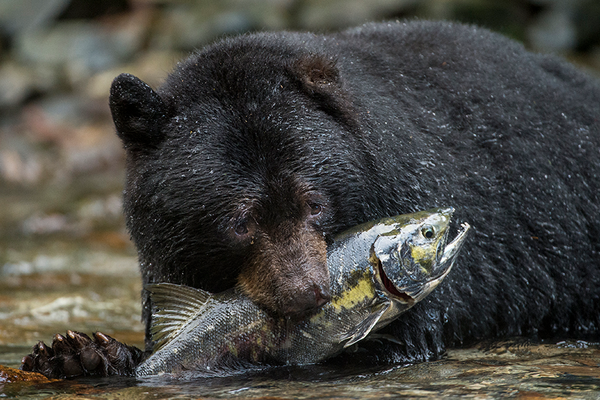 bear eating fish in the great bear rainforest in british columbia in canada