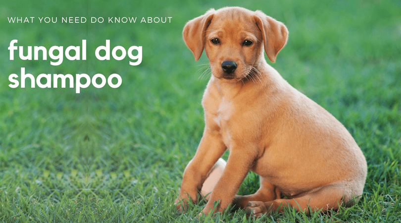 What you need to know about fungal dog shampoo