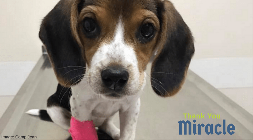 Miracle the Beagle - A Story of Hope and Happiness