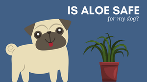Is aloe safe for my dog? Learn about the aloe plant and what parts of the aloe are safe for your dog