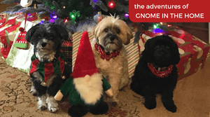The Adventures of Gnome in the Home!  Christmas Fun for Doggos!