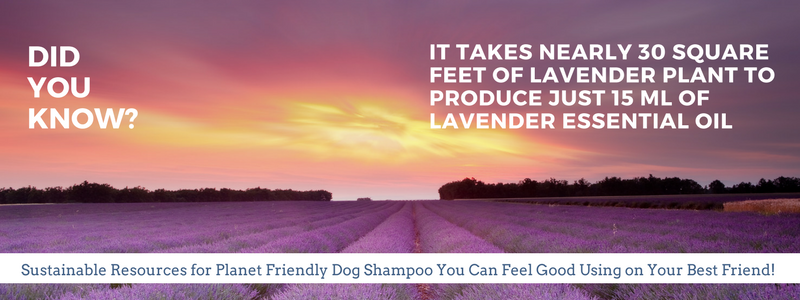 Lavender dog shampoo made with essential oils