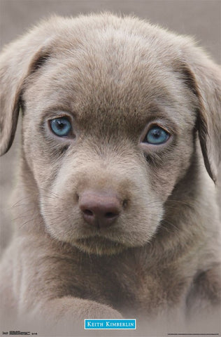 Puppy - Blue Eyes Wall Poster RP14439 23x34 UPC882663044399 Keith Kimberlin