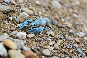 Blue Crayfish Art Print.  limited edition canvas art print of Blue Crayfish on beach.