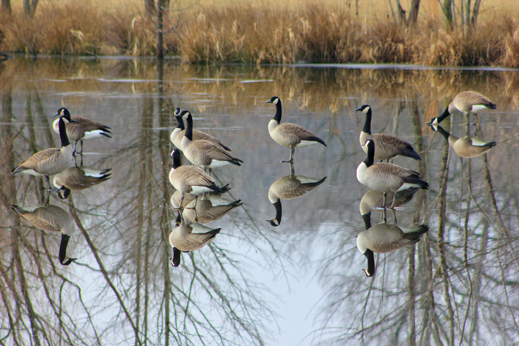 geese on pond photographic art print