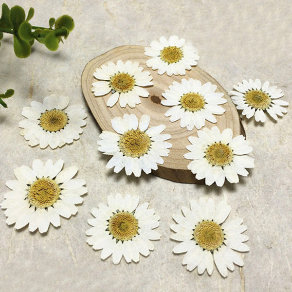 Flores dried pressed White Chrysanthemum Wedding Decoration flower wholesale free shipment 1 pack / 30 Pcs