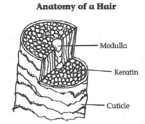 anatomy of a hair