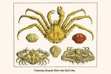 Crustaceans, Decapods, Elbow crabs, Rock Crabs,