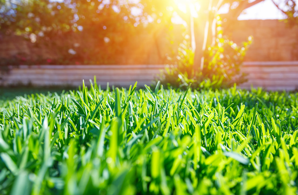 healthy green lawn with sun setting in background