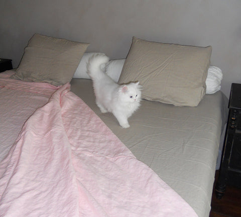 White Fluffy Kitty with Pink Blankets