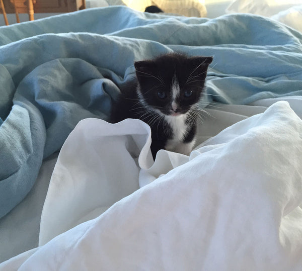 tuxedo kitten sitting in blue and white linens