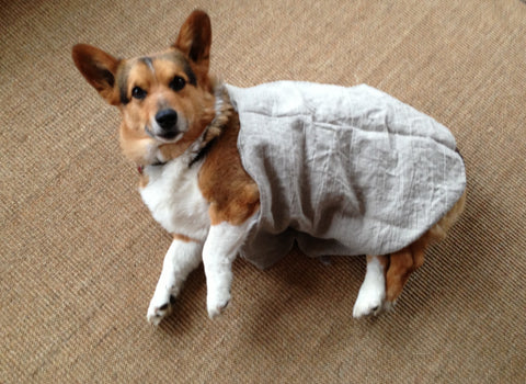 corgie wrapped in linen