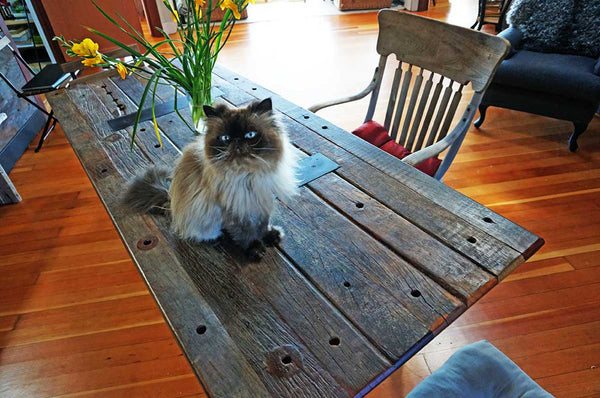 persian cat sitting on table