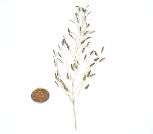 Delicate Late Autumn Wheat