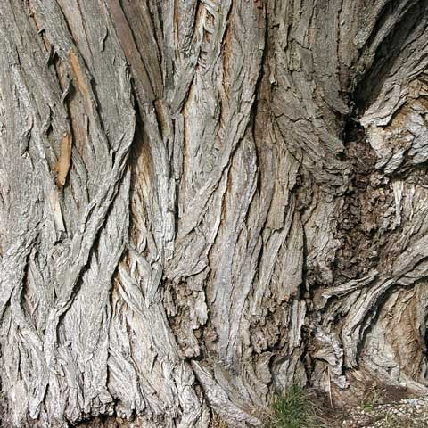 willow-bark-clarifying-blemishes