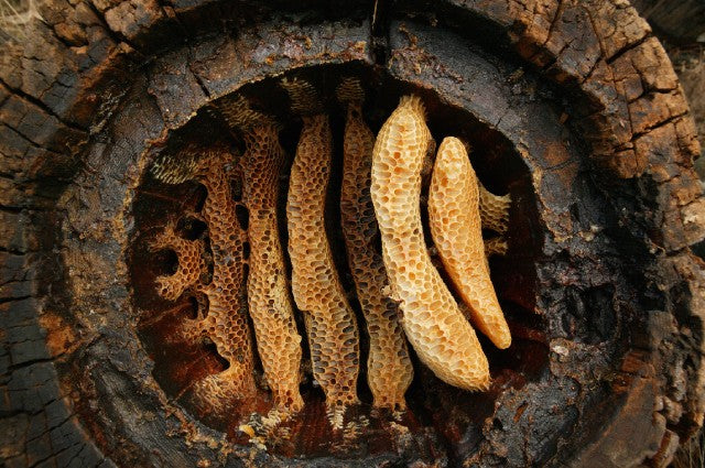 Photo credit: A hollow log hive of the Cévennes (France) reveals the details of circular comb architecture in Apis mellifera. Eric Tourneret