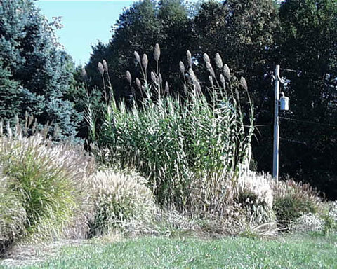 Arundo donax Giant Reed Grass