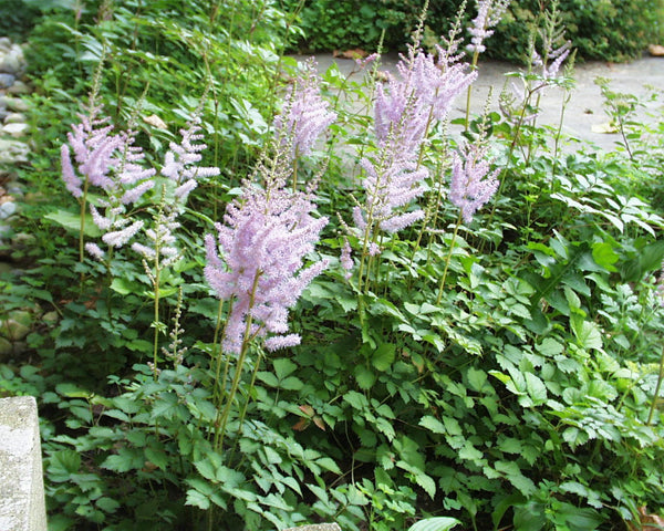 Astilbe chinensis Spreading False Spirea