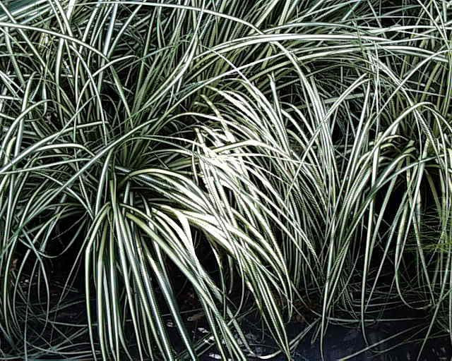 Carex oshimensis Gold Strike' Golden Variegated Sedge