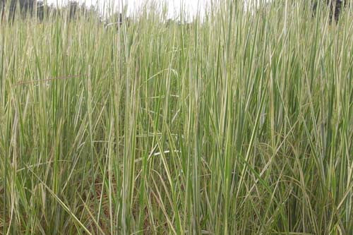 Calamagrostis acutiflora Overdam' Variegated Giant Reed Grass