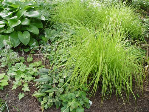 Carex elata 'Aurea' Bowles Golden' Bowles golden