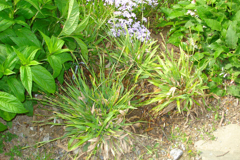 Carex platyphylla Slue Satin Sedge