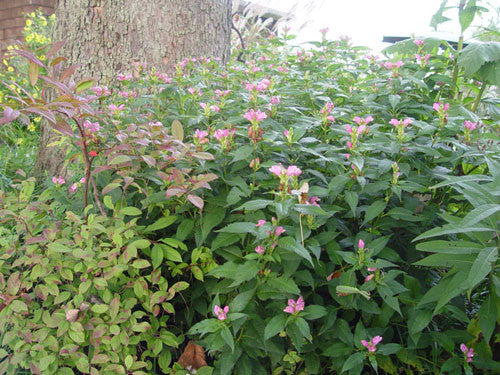 Chelone glabra Turtlehead