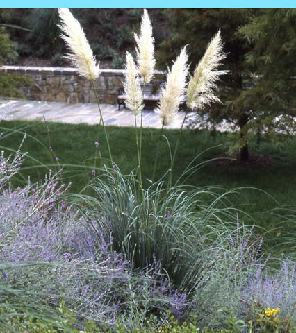 Cortaderia selloana Andes Silver' True Hardy Pampas Grass