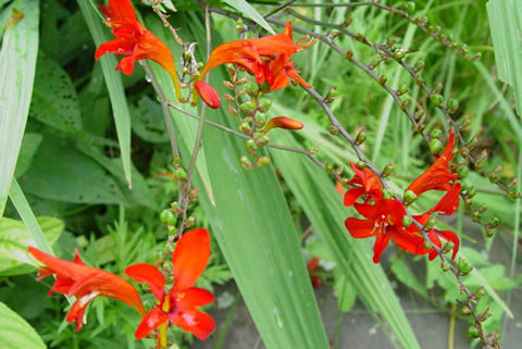 Crocosmia Lucifer'