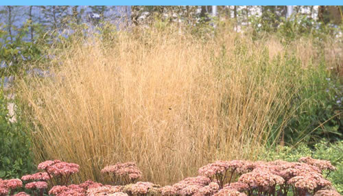 Deschampsia cespitosa Goldschleier' Golden Veil Deschampsia